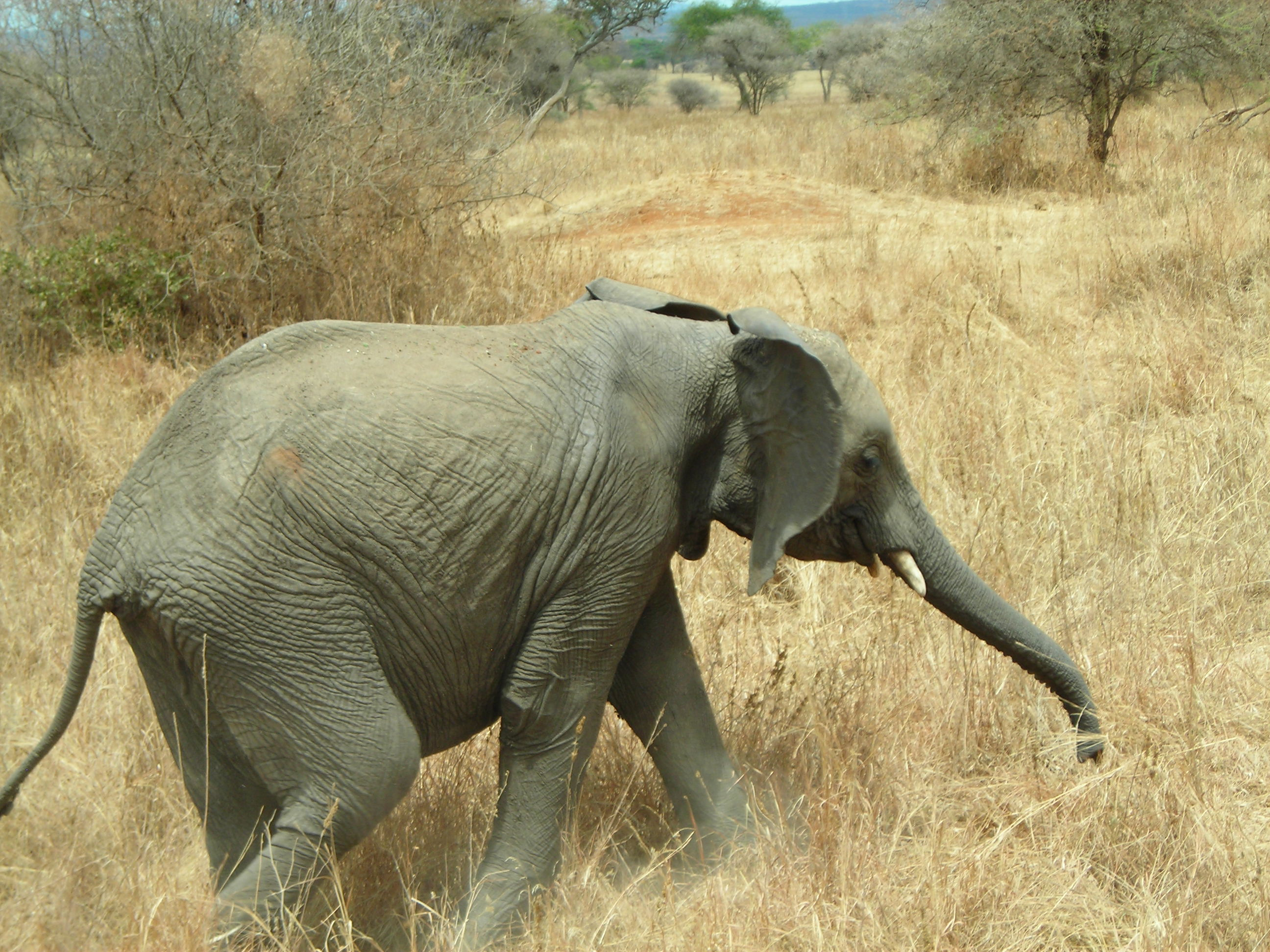 Safari Day 1 DSCN1718 elephant