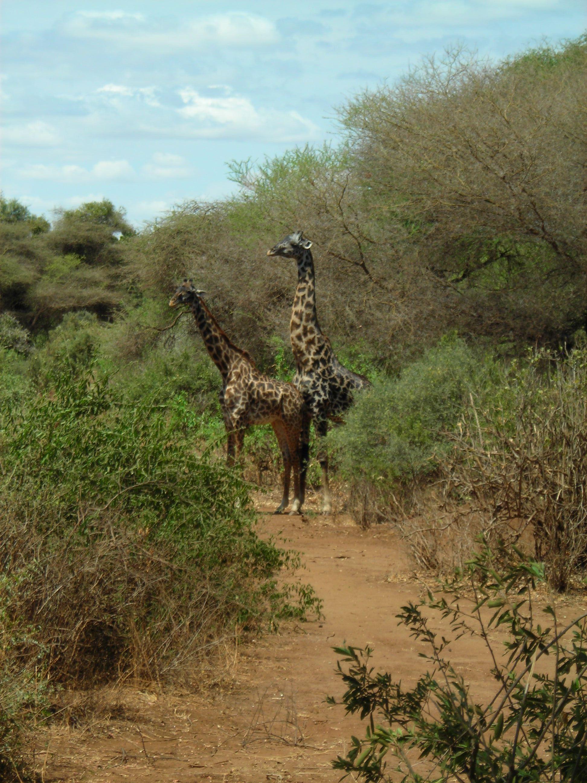 Safari Day 2 DSCN1800 Mating Giraffes