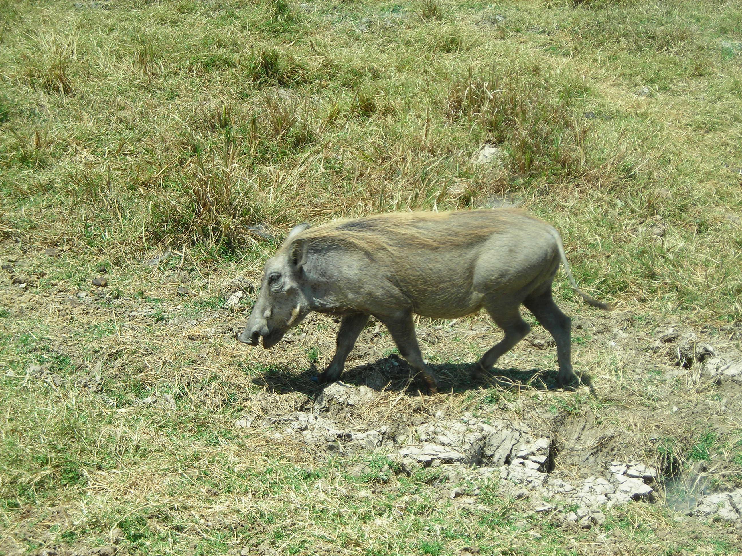 Safari Day 3 DSCN1854 Warthog